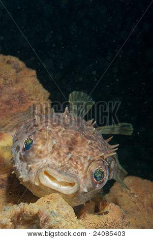 Smiling Porcupinefish