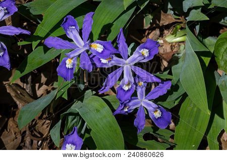 Iris Cristata Known As Dwarf Crested Iris In Bloom. It Is A Rhizomatous Perennial Plant Endemic To T
