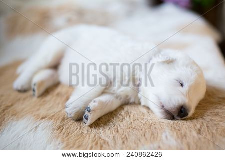 Portrait Of One Week Old Maremma Puppy Lying On The Cow's Fur