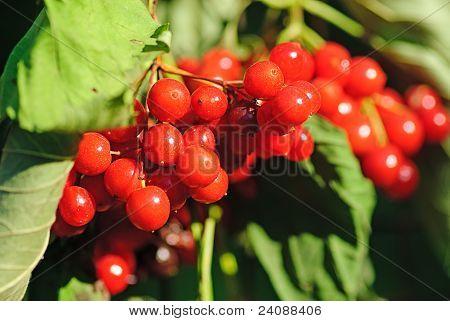 Viburnum Shrub With Red Berries