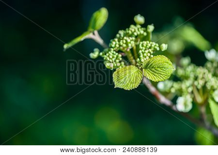 Spring Background.young Green Leavesof Plants In Gently Green Tones.  Space For Text
