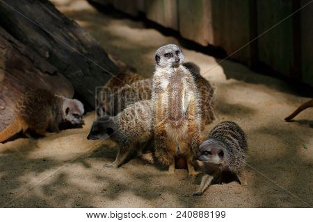 Full Body Of A Wild African Meerkats In Action. Photography Of Wildlife.