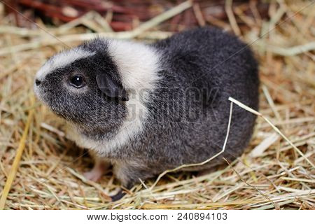 Close-up Of White-grey Adult Domestic Guinea Pig (cavy, Cavia Porcellus)