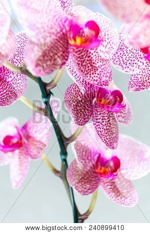 Beautiful Speckled Pink And White Blossoms Of Moth Orchids. Pretty Cluster Of Colorful, Exotic Flowe