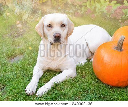 Beautiful Yellow Labrador Lying Down On The Green Grass Outdoor With Two Orange Pumpkins, Sun Backli