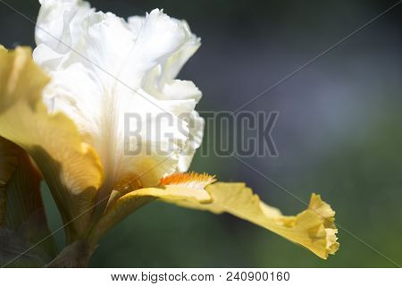 Beautiful Flowers Of A Iris. Beautiful Irises On Green Background. A Iris Plant In Garden Bloom In S