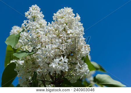 Flowers Of White Lilac On Background Of Blue Sky