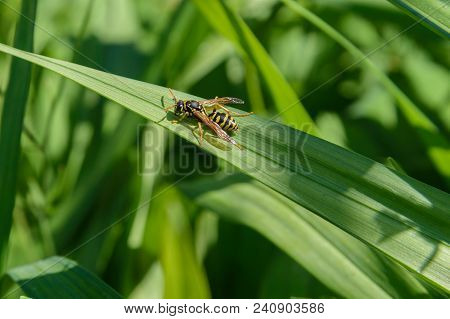 The Wasp Crawling On A Green Leaf .