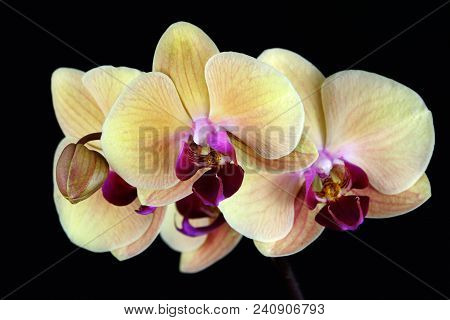 Close-up Of Multicolor Orchid Flowers (orchidaceae) On The Black Background.