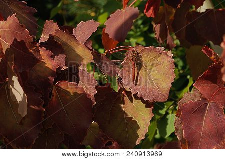 The Red Dragonfly Sits On A Reddish-brown Leaf Of Aspen On A Background Of Green Leaves.