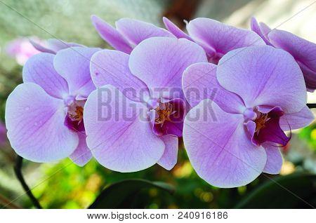 Triplet: Three Pink Orchids In Islamorada, Florida