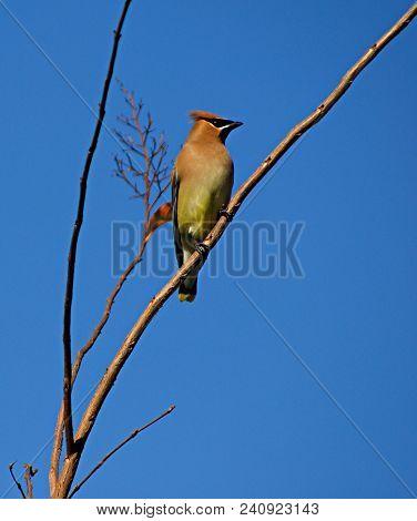 Bohemian: A Bohemian Waxwing Sitting On A Tree Branch