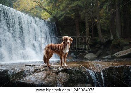 A Dog By The Waterfall. Pet On The Nature By The Water, Healthy Lifestyle. Traveling With The Pet. N