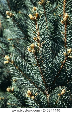 Spruce Sticks With Young Gold Cones On Sunlight. Nature Blue-green Background.