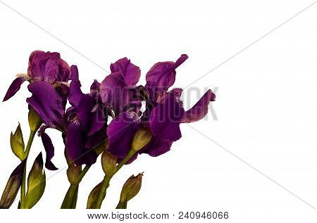 Beautiful Purple Iris Flowers Isolated On White Background. Fresh Irises From The Home Garden Could