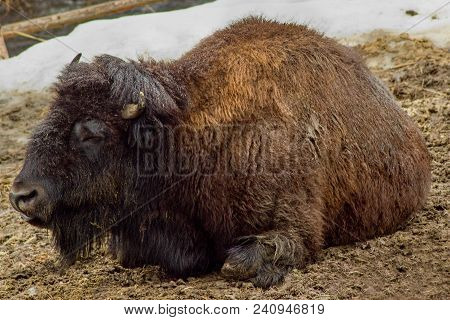 The American Bison Or Simply Bison Also Commonly Known As The American Buffalo Or Simply Buffalo.the