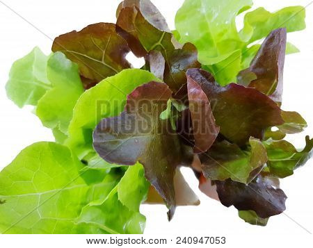 Soft Focus Of Fresh Green Oak And Red Oak Lettuce Isolated On White Background, Space For Text In Te