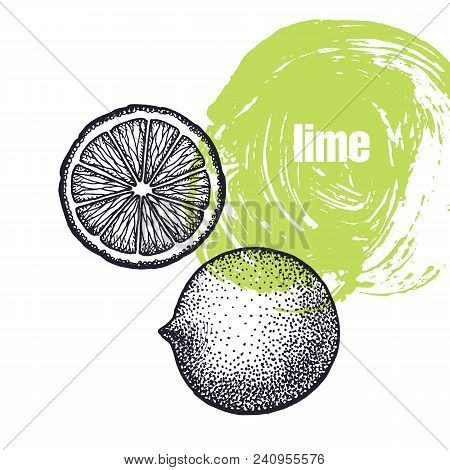 Lime. Realistic Vector Illustration Of Citrus Fruit Isolated On White Background. Hand Drawing Sketc