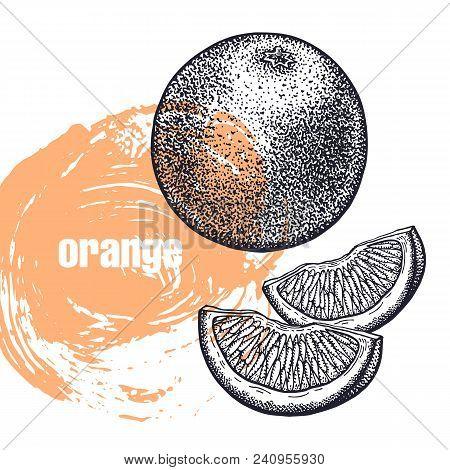 Orange. Realistic Vector Illustration Of Citrus Fruit Isolated On White Background. Hand Drawing Ske