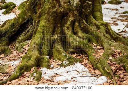 Close Up Roots Of Old Tree With Fallen Leaves On Them