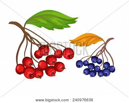 Sketch Rowanberry And Blueberry Bushes On Branch With Green And Orange Leaves. Autumn And Harvest Sy