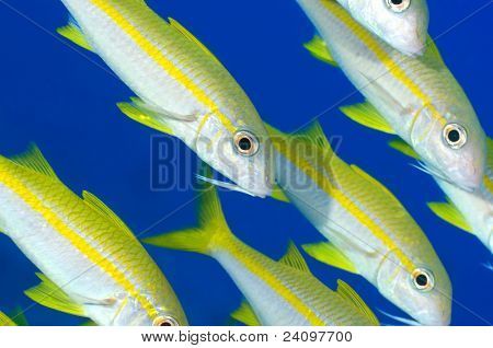 School of goat fish over blue background. poster