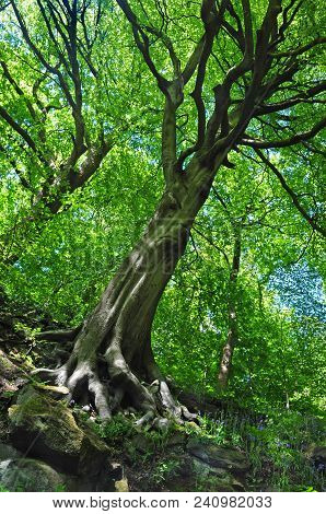 Tall Spring Woodland Beech Trees With Vibrant Green Leaves Growing At A Steep Angle On A Hillside Wi