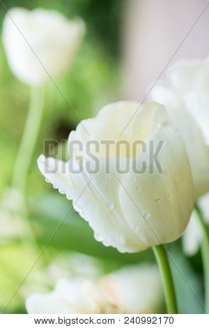 White Tulip In Dew Drops. Macro. Selective Focus