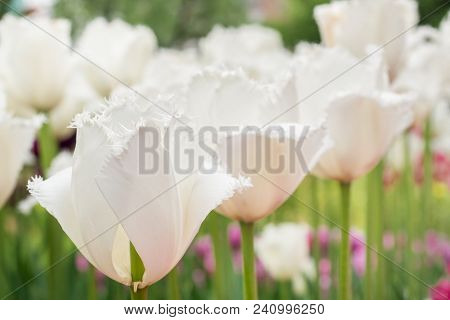 White Tulips Planted In A Row. Macro Selective Focus