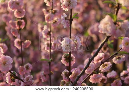 Ornamental Almond Tree In Blossom. Magic Colours Of Almond Tree Flowers In Evening Sunshine Rays. Pi