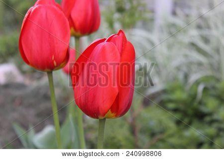 Bright Red Tulips In The Garden. Spring Tulips In Blossom. Three Full Heavy Seasonal Tulips Flowerin