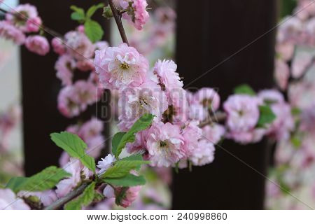 Magic Colours Of Almond Tree Flowers In Evening Sunshine Rays. Pink Dust Of Almond Flowers.ornamenta