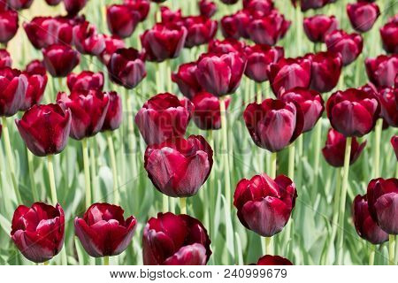 Colorful Black Tulips Flowers Blooming In A Garden