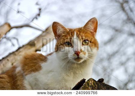 Red-white Domestic Cat (felis Silvestris Catus) On Woodpile Looks Down Attentively. Domestic Cats Lo