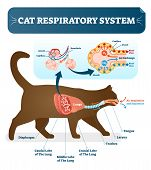 Cat respiratory system, vet anatomy vector illustration poster with lungs and capillary diagram scheme. Cat inner organ labeled cross section. poster