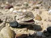 The lizard with an open mouth lies and is heated on sand and stones poster