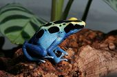 Patricia Dyeing Poison Dart Frog, Dendrobates tinctorius, in terrarium poster
