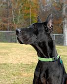 Great Dane poses for camera. He is in a large fenced in yard with fall trees in background. poster