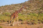 Reticulated (Somalian) Giraffe in Samburu Reserve, Kenya poster