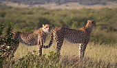 Cheetahs in Masai Mara National Reserve. Kenya Africa poster