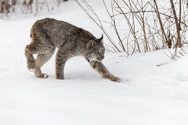 Canadian Lynx (lynx Canadensis) Stalks Right - Captive Animal