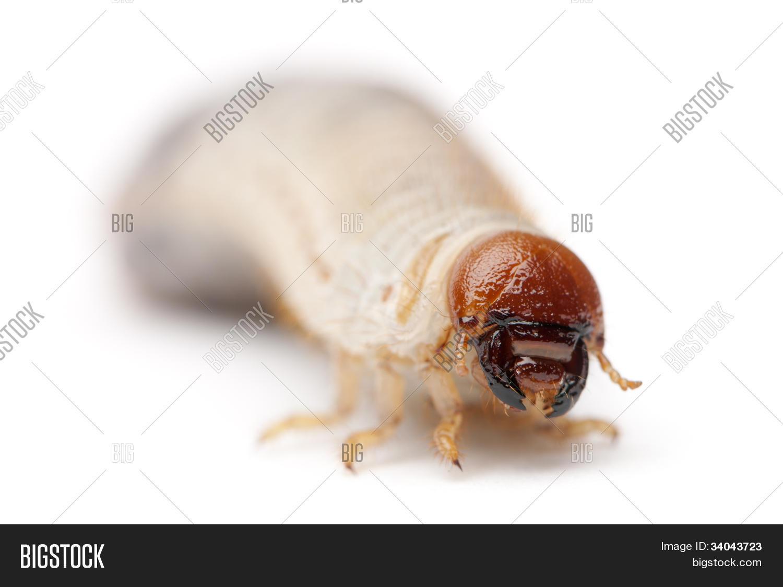 gusano fondo blanco