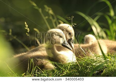 Swans cygnets on grass sunrise sun sunset morning cub offspring Nature background. Nature background Nature background family lonely Nature background beautiful Nature background lovely Nature background young swan Nature background Nature background.