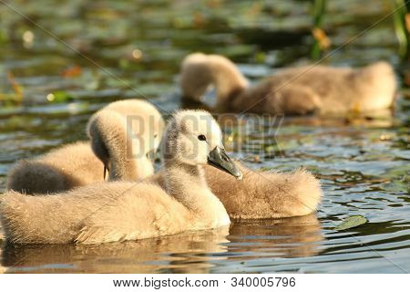 Swans cygnets on lake sunrise sun sunset morning cub offspring Nature background. Nature background Nature background family lonely Nature background beautiful water pond Nature background lovely Nature background young swan Nature background Nature.