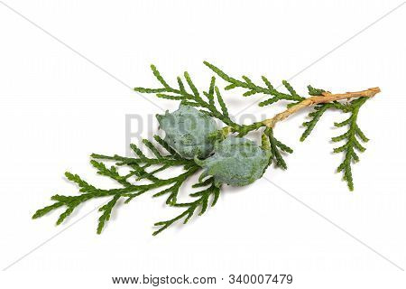 Cypress Twig With Cones Isolated On White