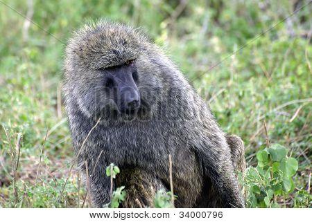 Adult Baboon