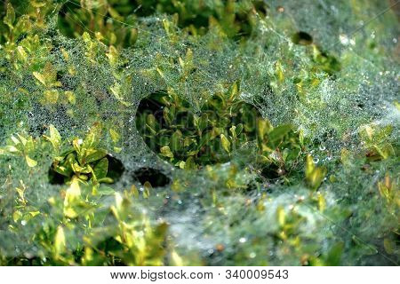 Frail Cobweb With Dewdrops On A Boxwood Plant With A Heart Shaped Hole In The Middle In Bright Sunsh
