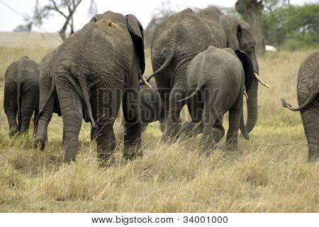 Elephant Family Running