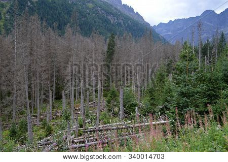 Dying Spruce Forests Due To Climate Change