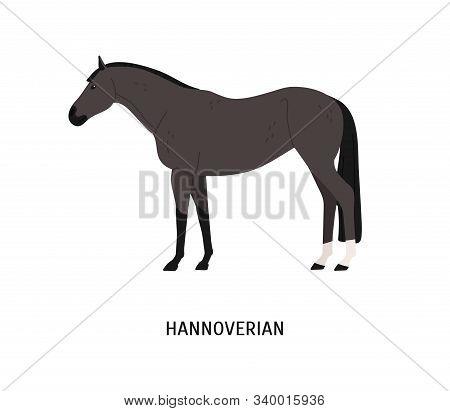 Hannoverian Horse Flat Vector Illustration. Beautiful Dark Grey Stallion With Short Mane Isolated On